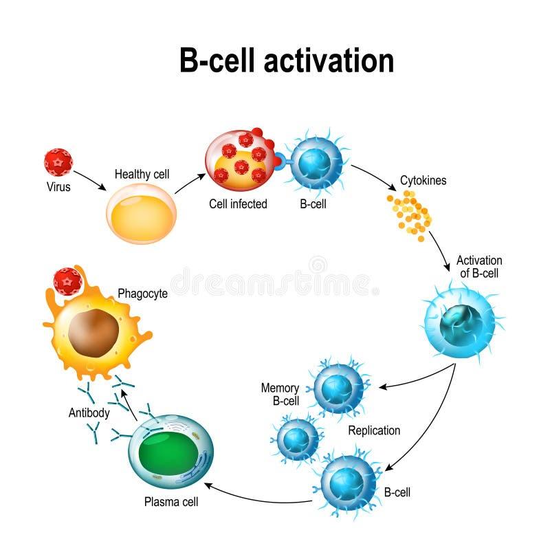 Activación de los leucocitos del linfocito B libre illustration