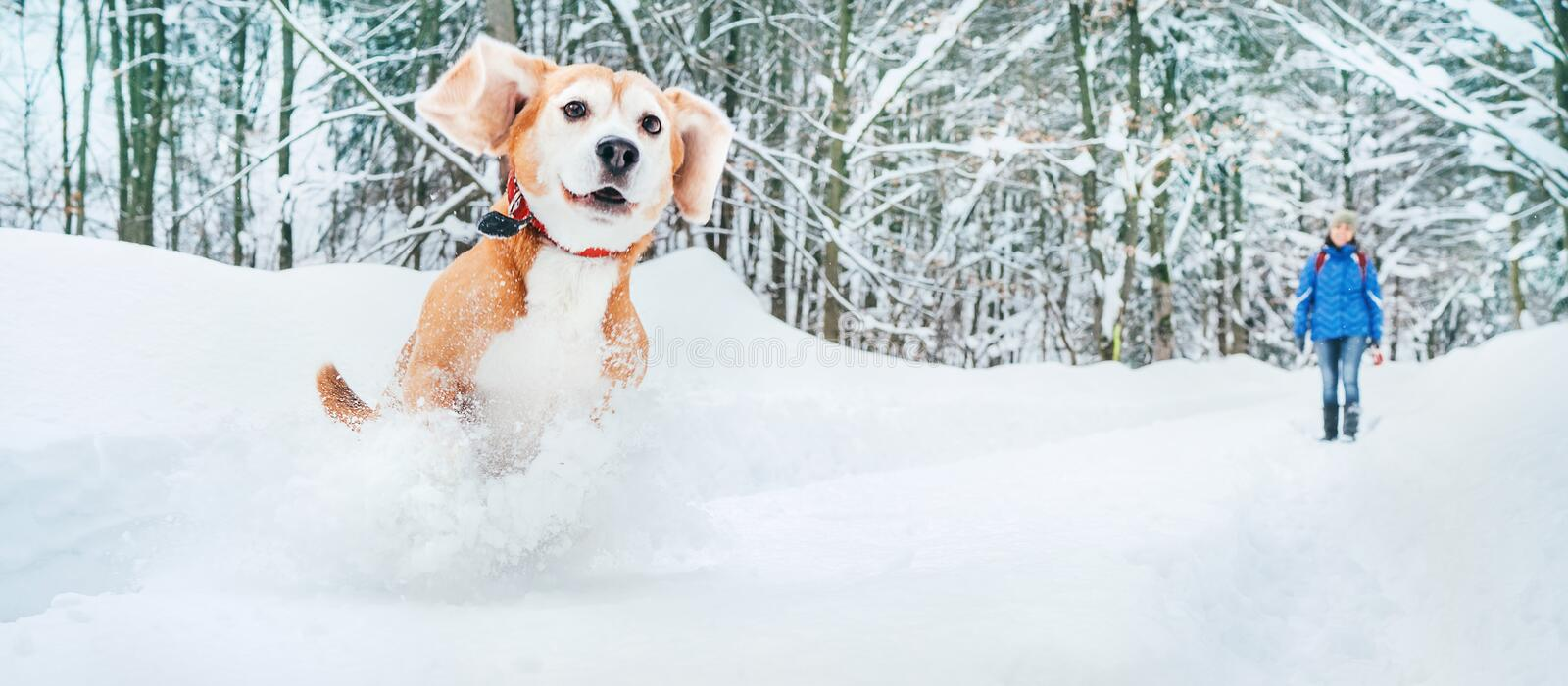 Active beagle dog running in deep snow. Winter walks with pets concept image royalty free stock image