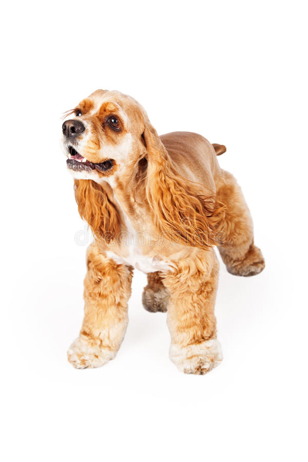Active Cocker Spaniel. A young and playful Cocker Spaniel dog standing on a white background royalty free stock photo
