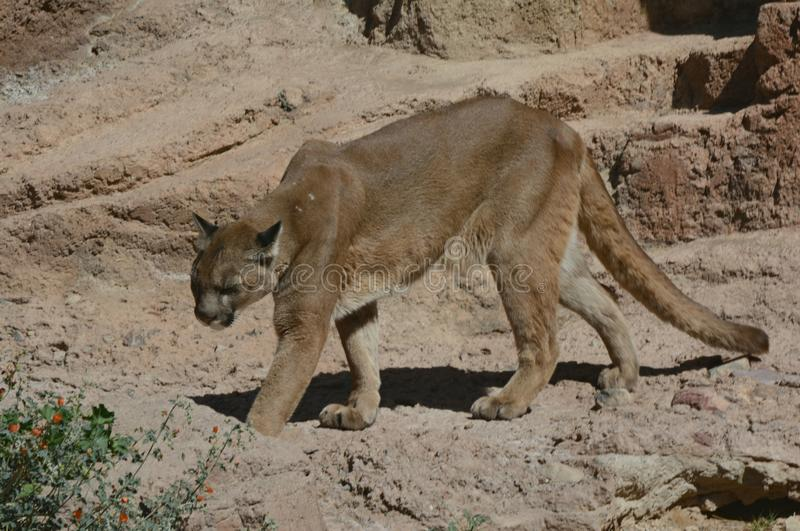 Active Cougar At Arizona-Sonora Desert Museum. Sunny capture of a captive adult cougar patrolling its` habitat at the Arizona-Sonora Desert Museum in southern royalty free stock photo