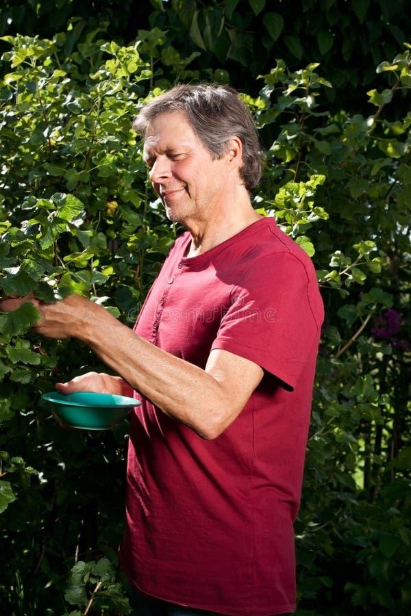 Active elderly man in garden collect berries. Older man in his garden is picking berries stock image
