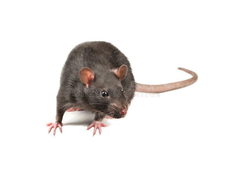 Grey rat isolate stock photo