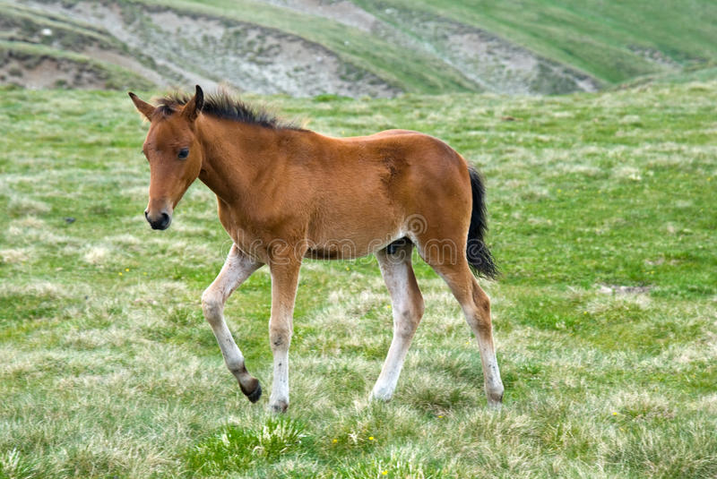 Active horse colt royalty free stock image