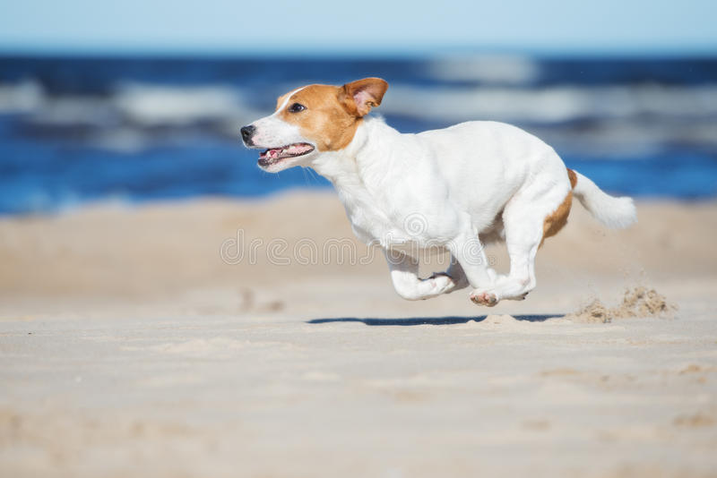 Active jack russell terrier dog on a beach. Jack russell terrier dog on a beach stock photo