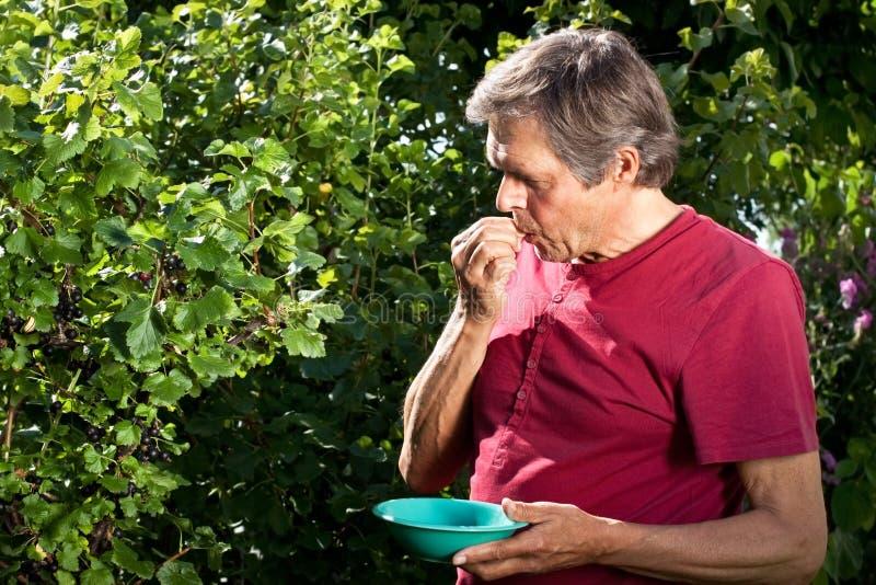 Active man in his garden nibbling Jostabeeries. Older man in his garden eating berries stock image