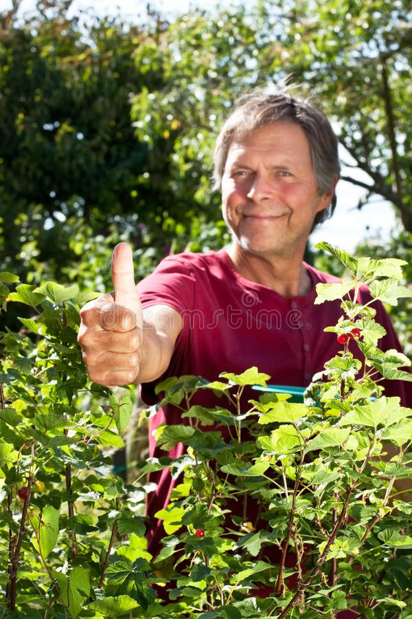 Active older man in garden holds thumb up. Active older man picks red currant and holds thumb up stock photography