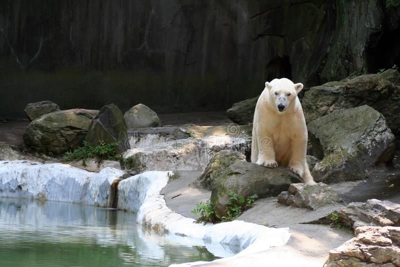 Active Polar Bear