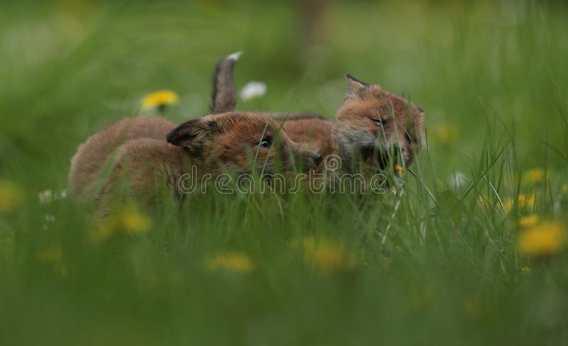 Active red fox cubs stock photos