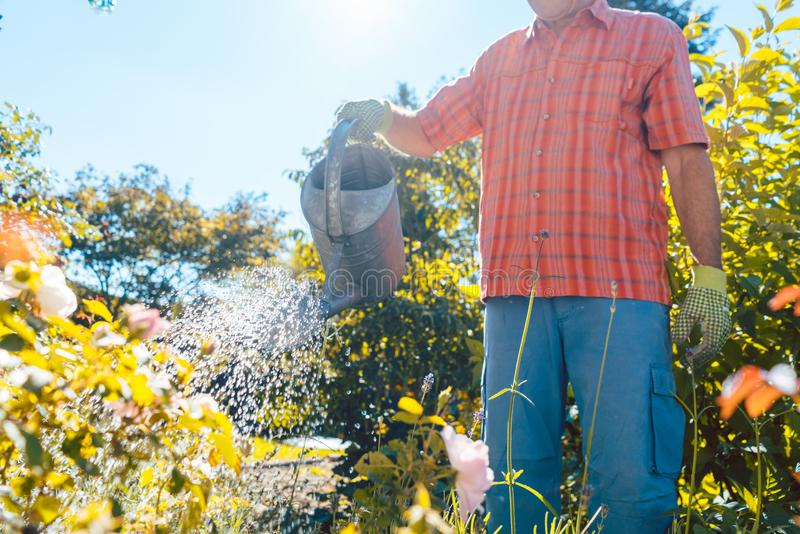 Active senior man watering plants in the garden in a tranquil summer day stock image