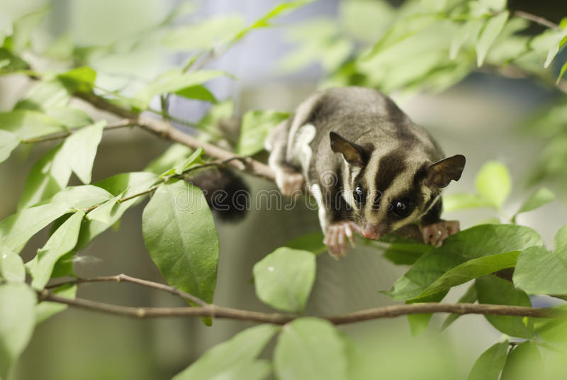 Active sugar-glider on nature royalty free stock image