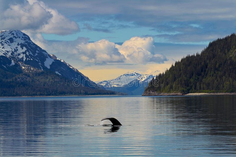 Whale Tail in the still waters of Alaska stock photography