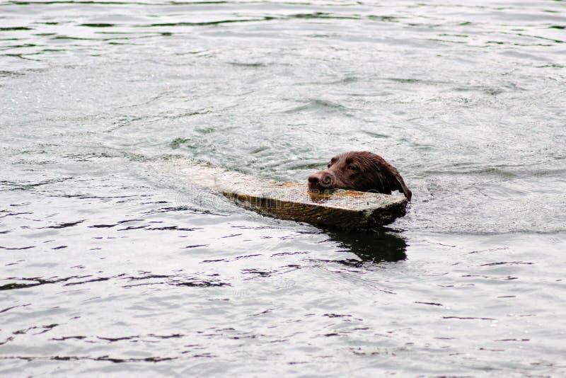 Download Activité De Chien De Brown Dans L'eau Photo stock - Image du animal, exercice: 77158510
