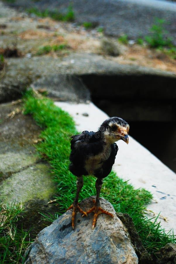 Activité de poulet photos stock