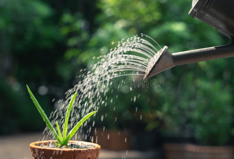 Activité en plein air de matin à la plante en pot de arrosage de Vera d'aloès photos libres de droits