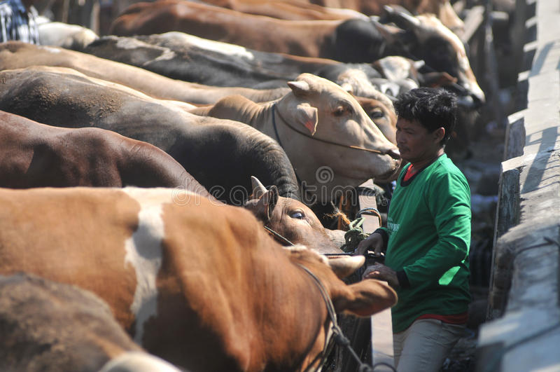 Activity at traditional cow market during the preparation of Eid al-Adha in Indonesia. KLATEN, CENTRAL JAVA, INDONESIA - September 24 : An activities cow seller royalty free stock photography