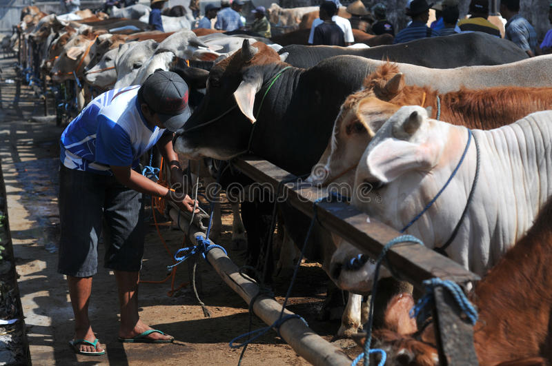 Activity at traditional cow market during the preparation of Eid al-Adha in Indonesia royalty free stock photos