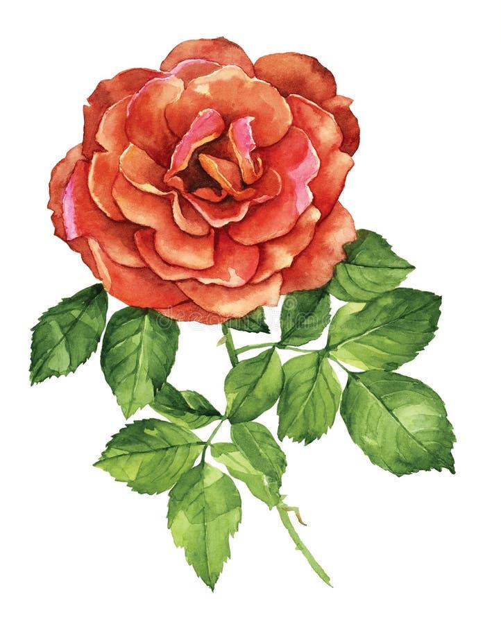Acuarela botánica de la rosa del rojo foto de archivo libre de regalías
