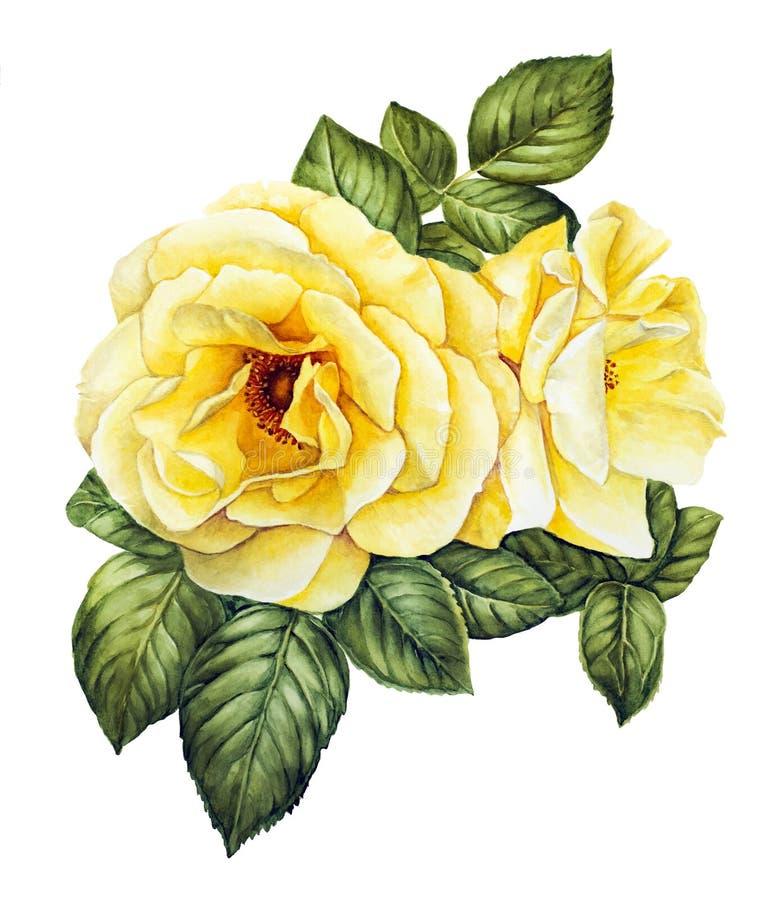 Acuarela con las rosas blancas stock de ilustración