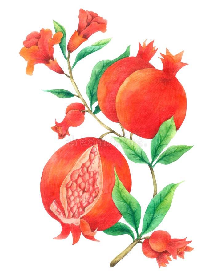 Acuarela de la vid de la granada aislada en el fondo blanco, mano dibujada pintada para la tarjeta de felicitación, papel pintado ilustración del vector