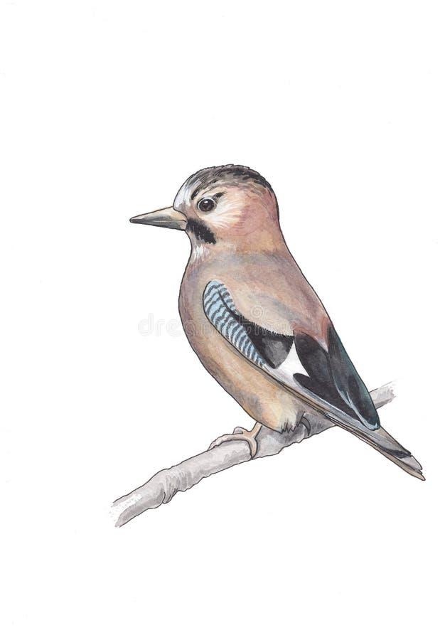Acuarela l ejemplo del pájaro de jay stock de ilustración