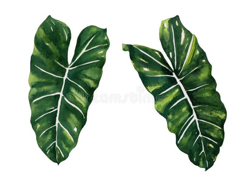 Acuarela partida del Philodendron de la hoja en el vector blanco del fondo libre illustration