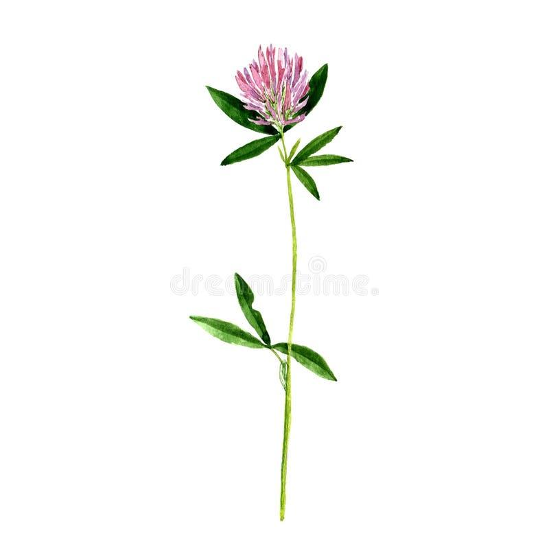 Acuarela que dibuja la flor salvaje fotografía de archivo libre de regalías