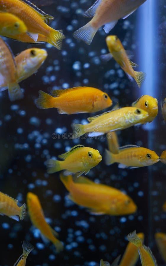 Acuario amarillo eléctrico de Malawi del caeruleus de Labidochromis del cichlid fotografía de archivo libre de regalías