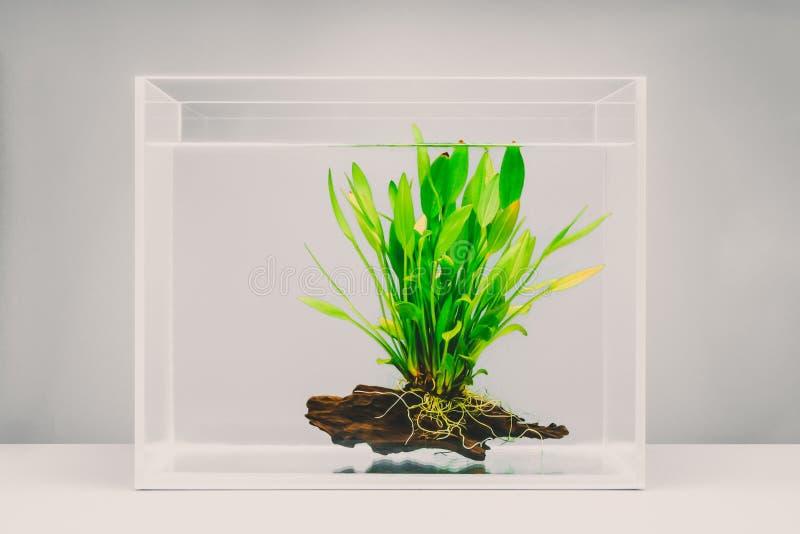 Acuario claro con la planta acuática fotos de archivo