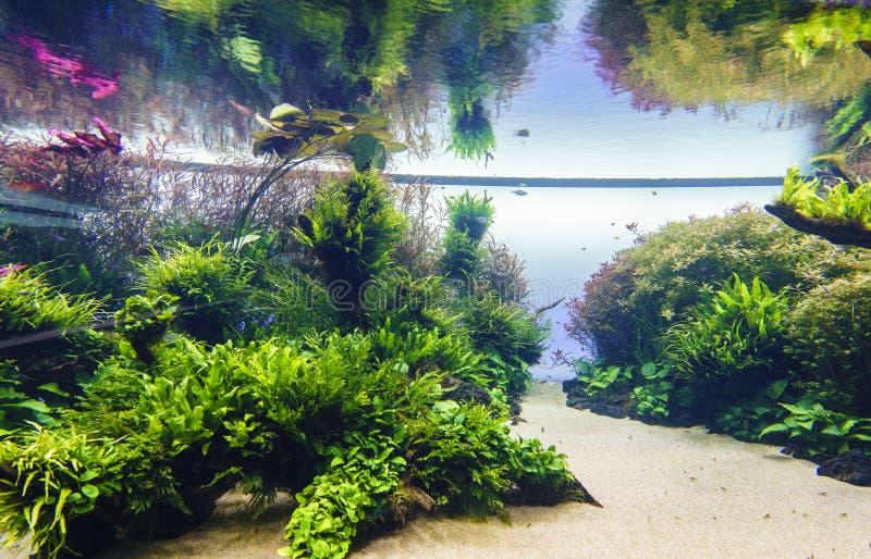 Acuario de agua dulce de la naturaleza en el estilo de Takasi Amano fotos de archivo
