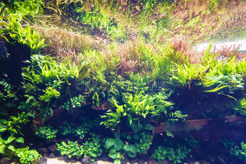 Acuario de agua dulce de la naturaleza en el estilo de Takasi Amano fotografía de archivo libre de regalías
