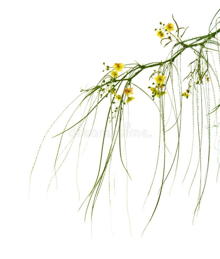 Aculeata de florescência do Parkinsonia imagem de stock