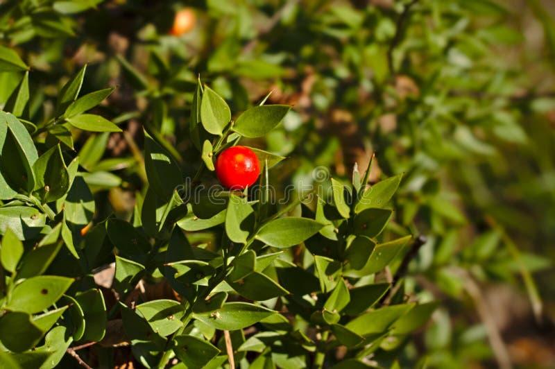 Aculeatus de Ruscus photo stock