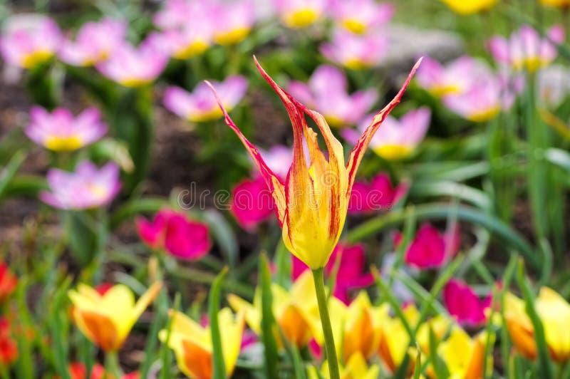 Acuminata selvagem do Tulipa da tulipa imagem de stock royalty free