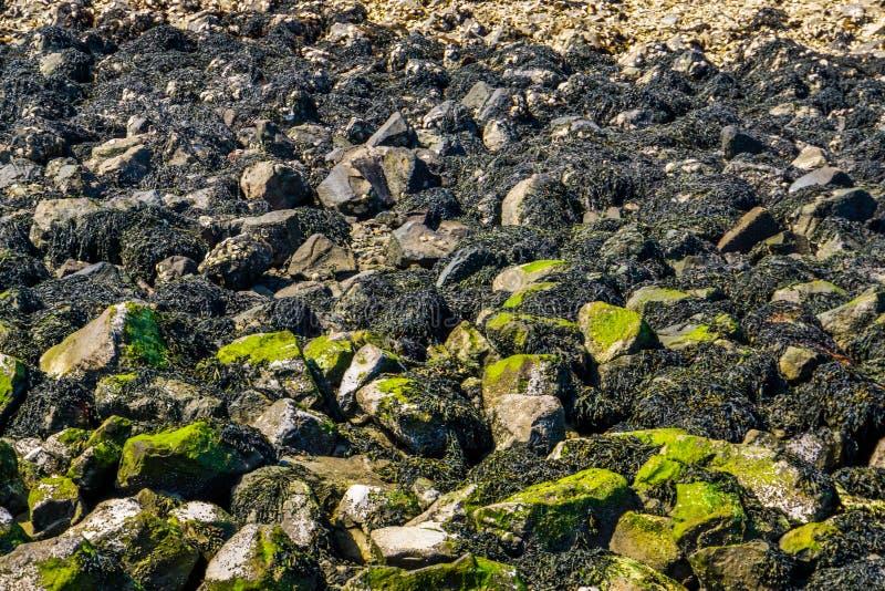 A acumulação de rochas do mar cobertas na alga na praia de tholen, fundo da natureza imagem de stock royalty free