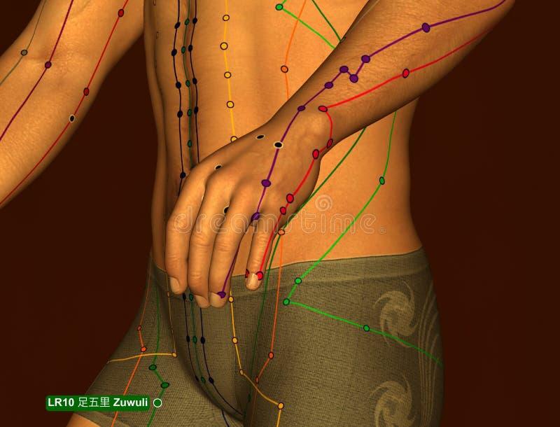 Acupuncture Point LR10 Zuwuli, 3D Illustration, Brown Background stock images