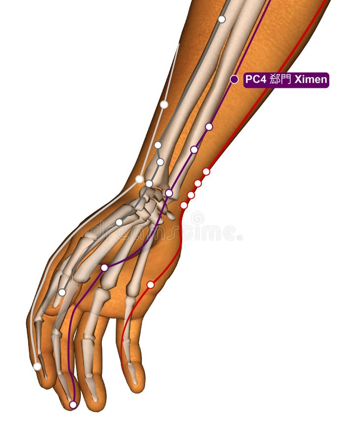 Acupuncture Point PC4 Ximen, 3D Illustration royalty free stock images