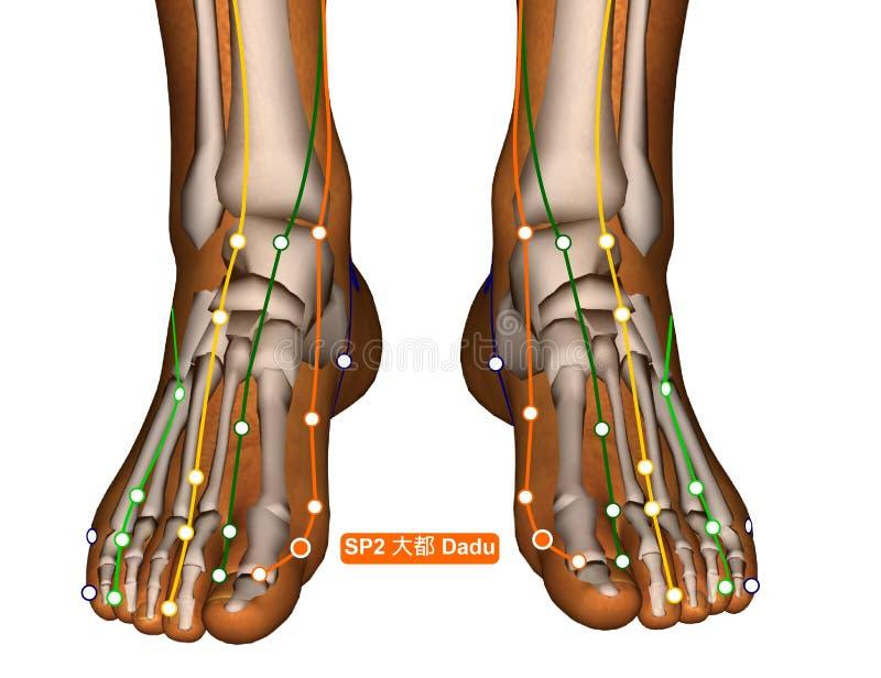 Acupuncture Point SP2 Dadu, 3D Illustration stock photo