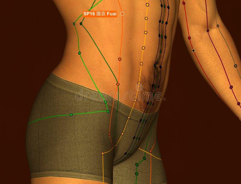 Acupuncture Point SP16 Fuai, 3D Illustration, Brown Background stock image