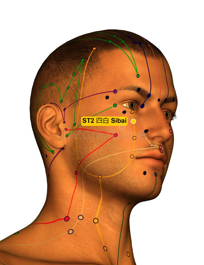 Acupuncture Point ST2 Sibai, 3D Illustration, White Background stock photos