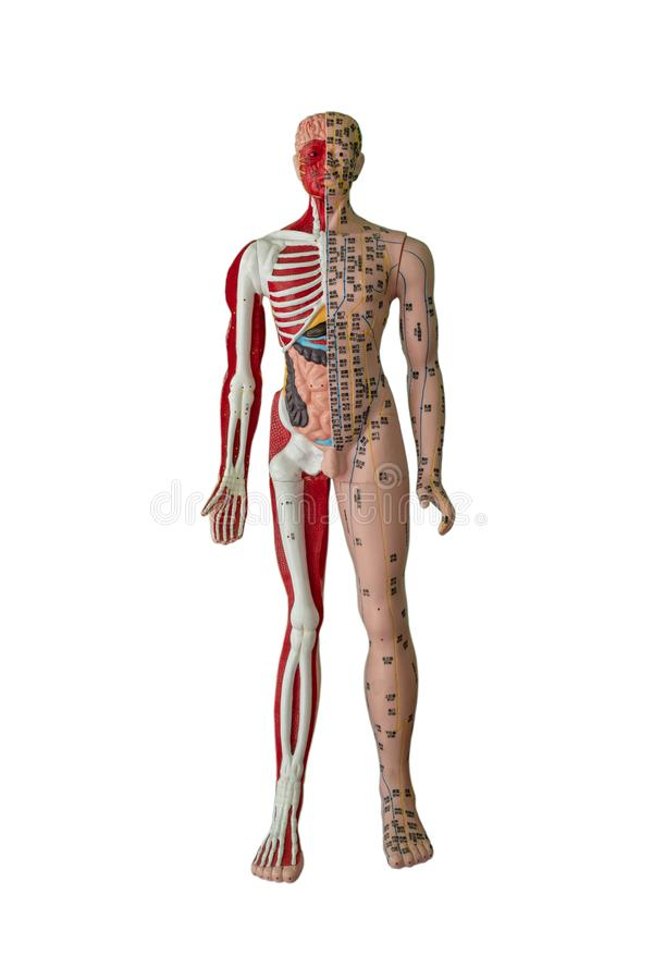 Acupuncture points, bone, muscle and internal organ figure stock image