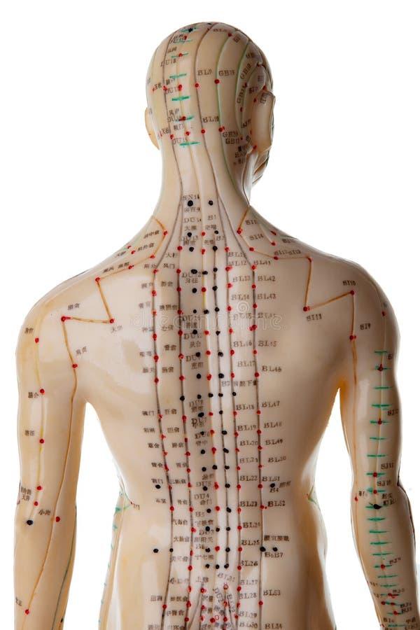 Acupunctuurmodel stock foto's