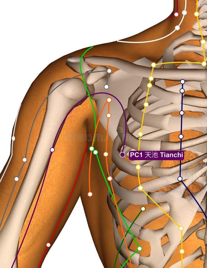 Acupunctuurpunt PC1 Tianchi, 3D Illustratie vector illustratie