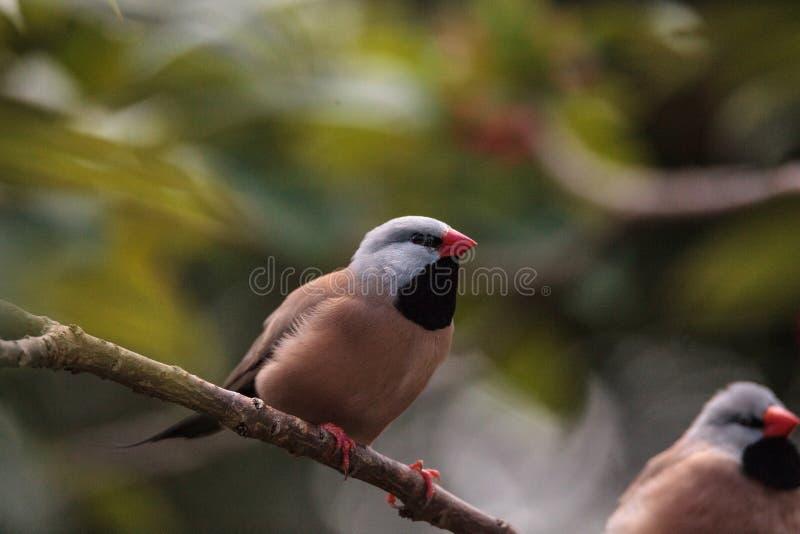Acuticauda van Shafttailfinch poephila royalty-vrije stock afbeeldingen