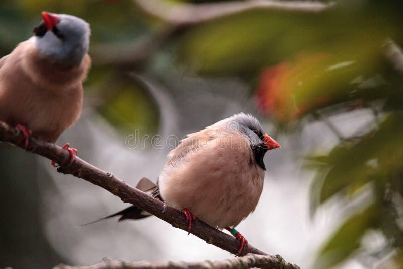 Acuticauda van Shafttailfinch poephila stock afbeelding