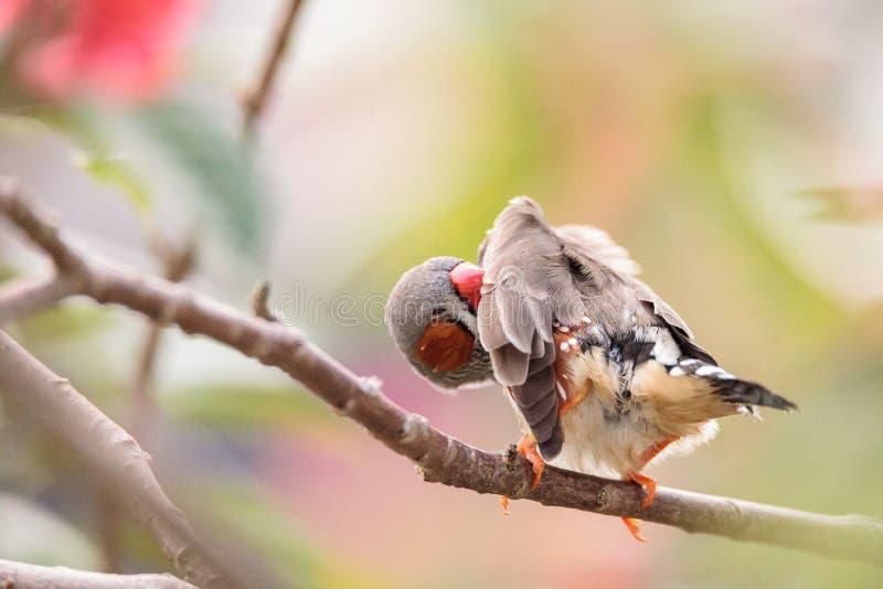 Acuticauda van Shafttailfinch poephila royalty-vrije stock foto