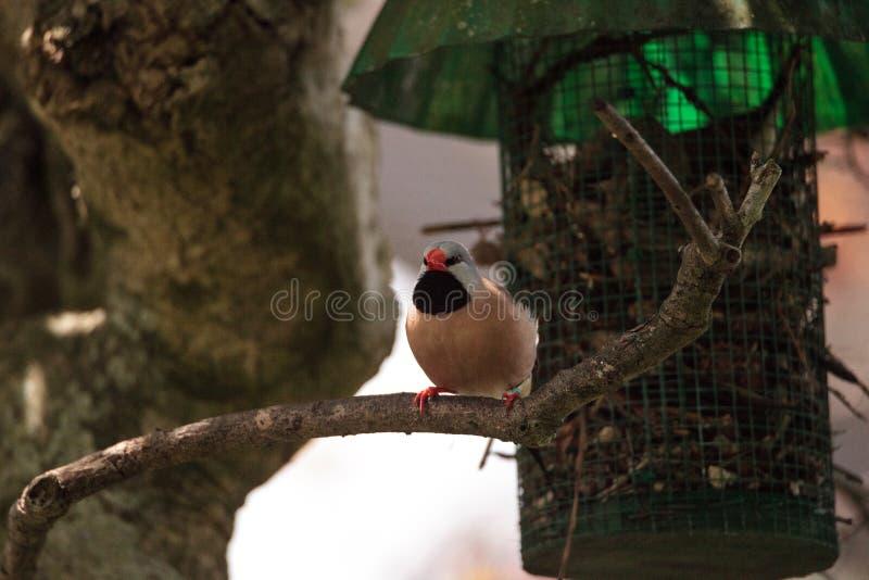 Acuticauda van Shafttailfinch poephila stock afbeeldingen