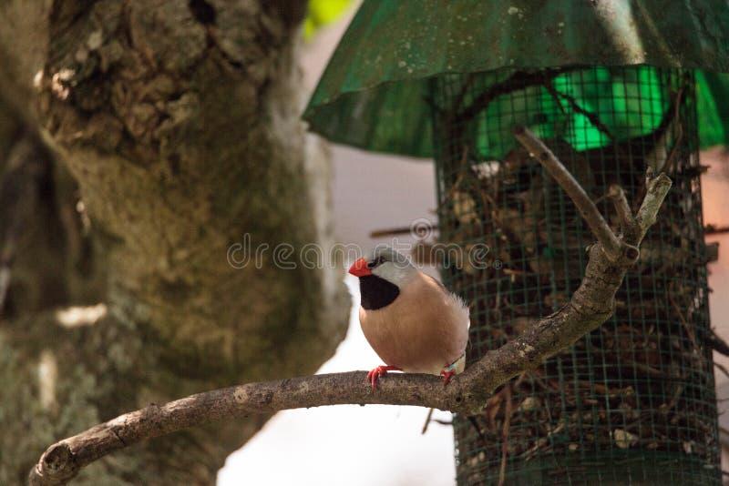 Acuticauda van Shafttailfinch poephila stock fotografie