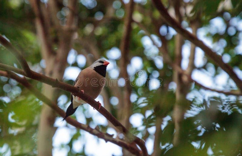 Acuticauda van Shafttailfinch poephila stock foto