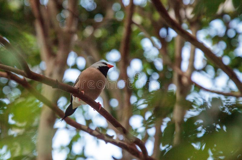 Acuticauda van Shafttailfinch poephila royalty-vrije stock afbeelding