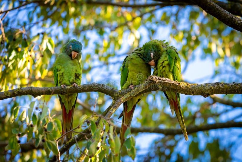 Acuticaudata salvaje de Aratinga de los periquitos en ramas del árbol en parque Vida salvaje en ciudad imagenes de archivo
